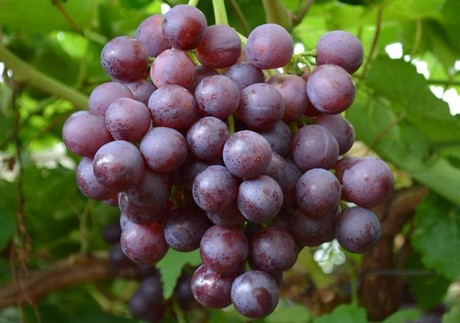 South African grapes to expand in China as production bounces back